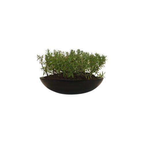 Plantenschaal rozemarijn zwart